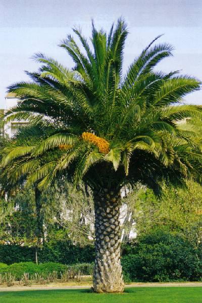 La quarta palma ma vi for Pianta palma
